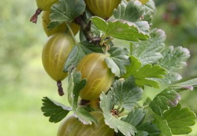 Ilukarusmari ´Kollane võidumari´ (Grossularia reclinata)