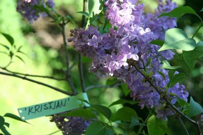 Harilik sirel ´Kristjan Paluteder´ (Syringa vulgaris)