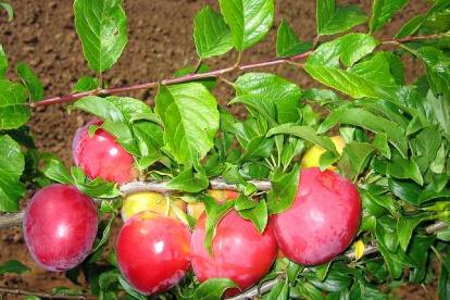 Hübriidploom ´Kubanskaja Kometa´ (Prunus)