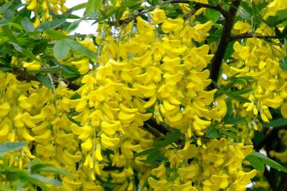 Alpi kuldvihm (Laburnum alpinum)
