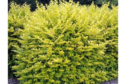 Harilik liguster ´Aureum´ (Ligustrum vulgaris)