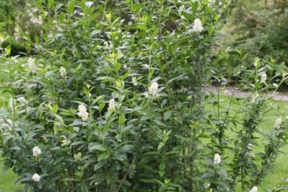 Harilik liguster ´Pyramidalis´ (Ligustrum vulgare)