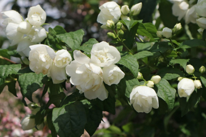 Ebajasmiin ´Little white love´ (Philadelphus)