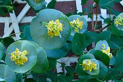 Lonicera prolifera -Liitundlehine kuslapuu