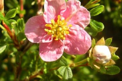 Põõsasmaran Lovely Pink