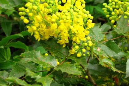 Läiklehine mahoonia (Mahonia aquifolium)