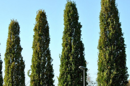 Harilik tamm ´Fastigiata´ (Quercus robur) tellimisel