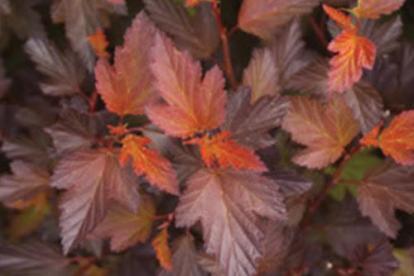 Põisenelas ´Mindia ´ (Physocarpus opulifolius)