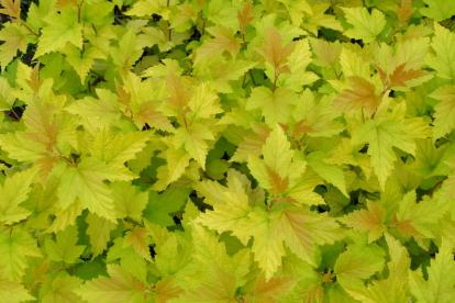 Põisenelas ´Nugget´ (Physocarpus)