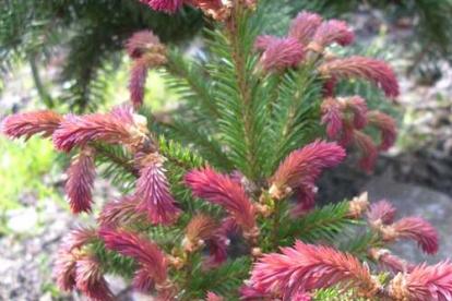 Harilik kuusk ´Rydal´ (Picea abies) - Tellimisel