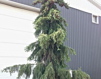 Serbia kuusk ´Pendula´ (Picea omorica) - tellimisel