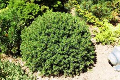 Harilik kuusk ´Hiiumaa` (Picea abies)
