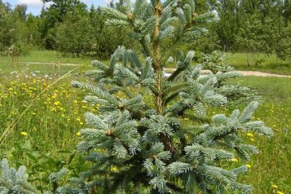 Siberi kuusk ´'Seminskaja' (Picea obovata)