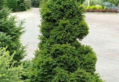 Harilik kuusk ´Dundaga´ (Picea abies)  - Tellimisel