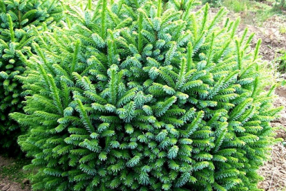 Serbia kuusk ´Nana´ (Picea omorica) - Tellimisel