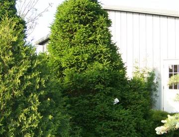 Harilik kuusk ´Remontii´ (Picea abies)