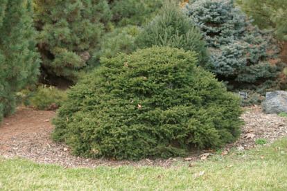 Harilik kuusk ´Tabuliformis´ (Picea abies)
