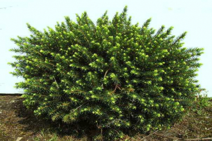 Serbia kuusk ´Karel´ (Picea omorica)  Tellimisel
