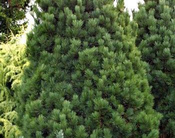 Alpi seedermänd ´Glauca´ (Pinus cembra)