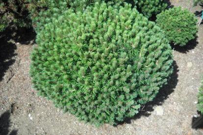 Mägimänd ´Mini Mops´ (Pinus mugo) tellimisel