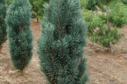 Harilik mänd ´Fastigiata´ (Pinus sylvestris)