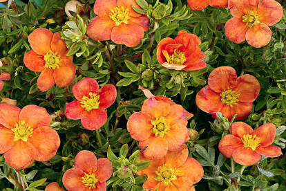 põõsasmaran ´Hopley´s Orange´  (Potentilla fruticosa)
