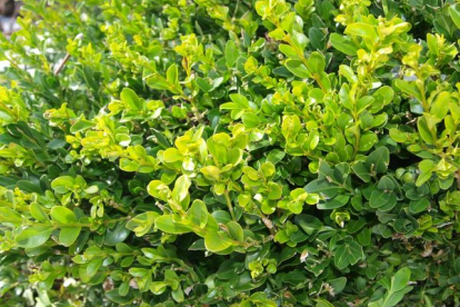 Harilik pukspuu (Buxus sempervirens)