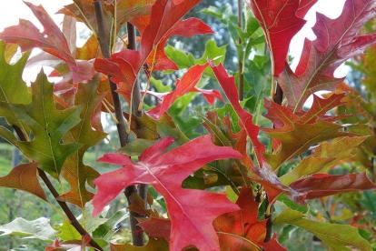 Sootamm (Quercus palustris)