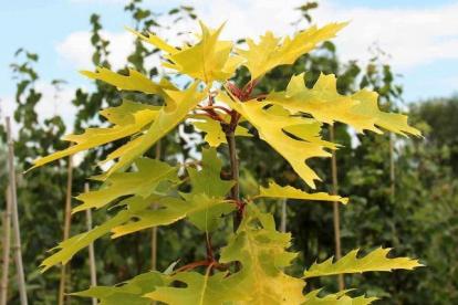 Punane tamm ´Aurea´ (Quercus rubra) tellimisel