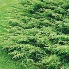 Harilik kadakas ´Repanda´ (Juniperus communis)