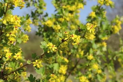 Kuldsõstar (Ribes Aureum)