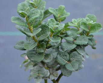 Bocki paju (Salix bockii)