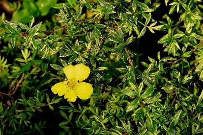 Põõsasmaran ´Silver Moon´ (Potentilla fruticosa)