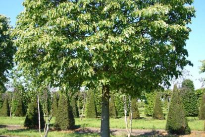 Harilik pärn ´Simone´ (Tilia cordata)