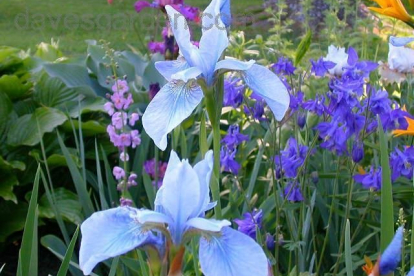 Siberi võhumõõk ´Soft Blue´ (Iris sibirica)
