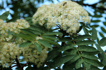 Kaunis pihlakas (Sorbus decora) tellimisel