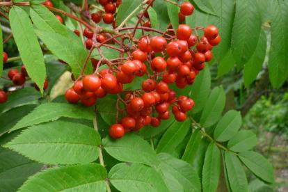 Matsumura pihlakas (Sorbus matsumurana)
