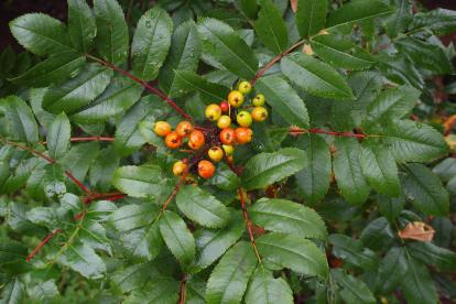 Kaskaadi pihlakas (Sorbus cascadensis)