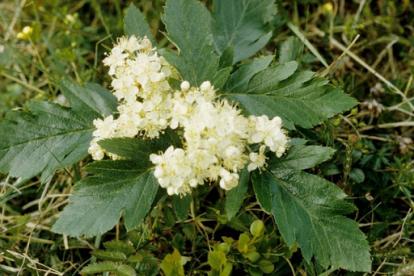 Süstjalehine pihlakas (Sorbus lancifolia)