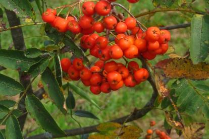 Ruske pihlakas (Sorbus rufoferruginea)