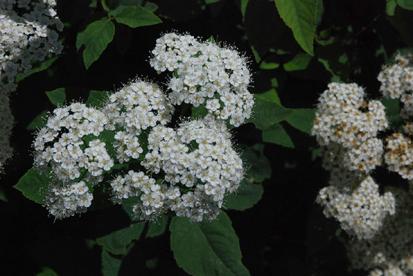 Miyabe enelas (Spiraea miyabei)