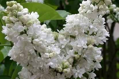 Harilik sirel ´ Madam Lemoine´ (Syringa vulgaris)