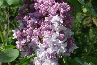 Harilik sirel ´Katherina Havemeyer´ (Syringa vulgaris)
