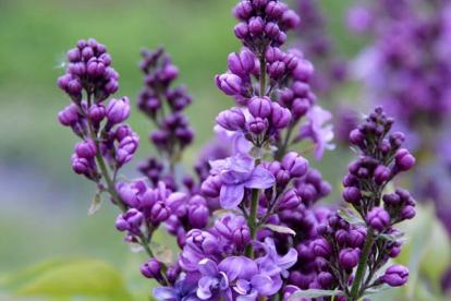 Harilik sirel ´Summi-Summi´ (Syringa vulgaris)