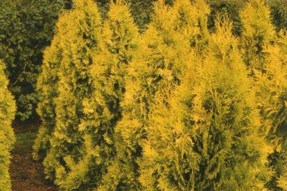 Harilik elupuu ´Holmstrup Yellow´ (Thuja occidentalis)
