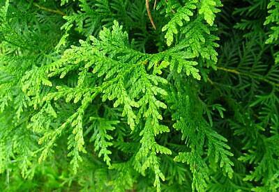 Elupuu ´Hetty´ (Thuja occidentalis)