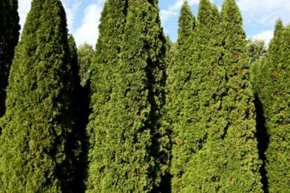 Harilik elupuu ´Malonyana´ (Thuja occidentalis)