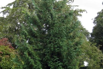 Jaapani elupuu (Thuja Standishii)