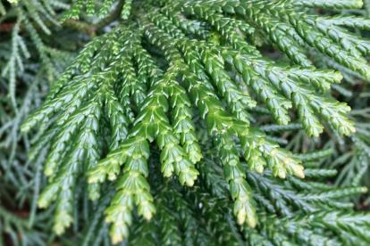 Hiibapuu (Thujopsis dolabarata)