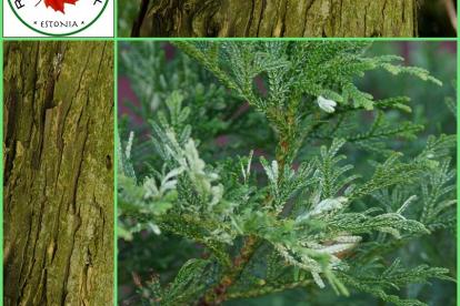 Thujopsis dolabarata  ´Variegata´ - Hiibapuu